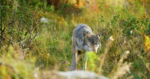 Beautiful grey wolf looking after food or other animals in the grass stock video