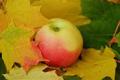 Beautiful grey wooden background with autumn leaves and apple Stock Images