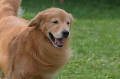 Beautiful Groomed Golden Retriever Dog. Adorable face of a golden retriever puppy dog Royalty Free Stock Photography