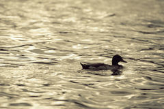 Beautiful grop of duck is swiming Royalty Free Stock Image