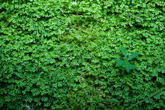 Beautiful ground cover fresh green ferns, natural carpet background with other plant Stock Images
