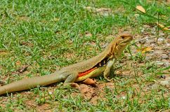 Beautiful ground lizard in green grass field. In sunlight of afternoon stock photo