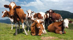 Beautiful group of cows (bos primigenius taurus). In alps on pasture Royalty Free Stock Images