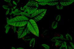 Beautiful group of green leaves pattern isolated on a dark tone image. A Beautiful group of green leaves pattern isolated on a dark tone image royalty free stock images