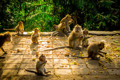 Beautiful group of long-tailed macaques Macaca fascicularis in The Ubud Monkey Forest Temple, eating fruits in a sunny Stock Photos