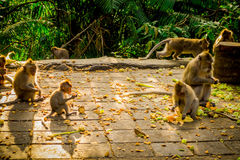 Beautiful group of long-tailed macaques Macaca fascicularis in The Ubud Monkey Forest Temple, eating fruits in a sunny. Day inside the forest, on Bali Indonesia Stock Photo
