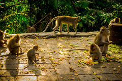 Beautiful group of long-tailed macaques Macaca fascicularis in The Ubud Monkey Forest Temple, eating fruits in a sunny. Day inside the forest, on Bali Indonesia Stock Photography