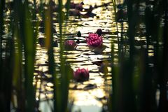 Beautiful group of pink lotus in the pond in magic color of the sunrise hiding behind pond grass. water reflection. Art photography. blurred royalty free stock photo