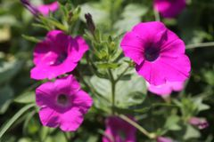 THE BEAUTIFUL GROUP OF PURPLE FLOWER. Looks beautiful. It is bright and symbol of beauty stock photo