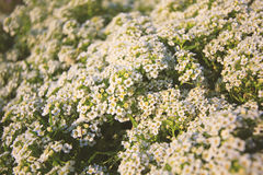 Beautiful group of small white flower Stock Images