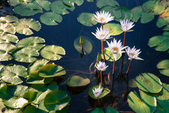 Beautiful group of white lotus flower with leaves in pool on dark Royalty Free Stock Photo