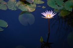 Beautiful group of white lotus flower with leaves in pool on dark Royalty Free Stock Photos