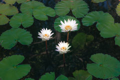 Beautiful group of white lotus flower with leaves in pool on dark Royalty Free Stock Image