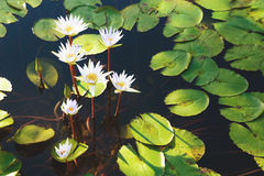 Beautiful group of white lotus flower with leaves in pool on dark Stock Photography