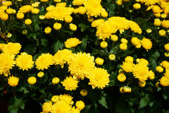 Beautiful group of yellow mums. Bright yellow mums growing in a group Stock Photo