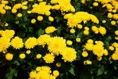 Beautiful group of yellow mums Stock Photo