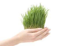 Beautiful growing grass royalty free stock photos