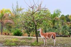 Beautiful Guanaco Royalty Free Stock Photos