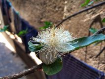 Beautiful Guava Flower with Green Leaf. stock photography