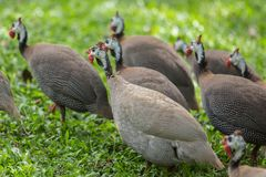 Guineafowl Royalty Free Stock Images