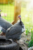 Beautiful guinea fowl Royalty Free Stock Image