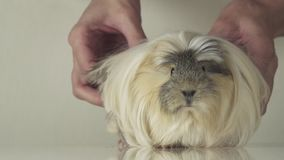 Beautiful guinea pig breed Coronet cavy slow motion stock footage video stock video footage