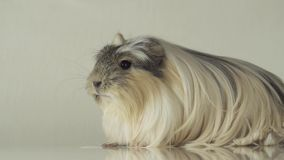 Beautiful guinea pig breed Coronet cavy stock footage video stock video footage
