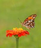 Beautiful Gulf Fritillary butterfly feeding on an orange Zinnia flower Royalty Free Stock Image
