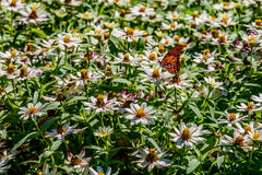 A Beautiful Gulf Fritillary or Passion Butterfly in a Sea of White Flowers Royalty Free Stock Image