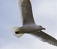 Beautiful gull in the blue sky Stock Images