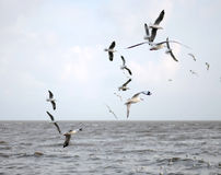 Beautiful Gull flying, Brown-headed Gull Stock Photography
