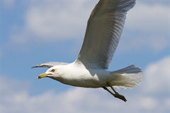 Beautiful gull is flying in the sky Royalty Free Stock Images