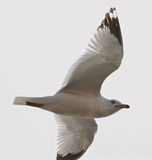 Beautiful gull is flying in the sky Royalty Free Stock Photo