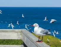 beautiful gull sitting on a railing at the Noobies on Philip Island, Victoria stock photo