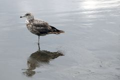 A beautiful gull stands on the coast of the sea or the ocean royalty free stock photos