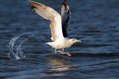 Beautiful gull taking its flight Stock Images