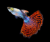 Beautiful Guppy on Black Background royalty free stock images