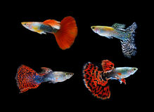 Beautiful Guppy on Black Background Royalty Free Stock Photo