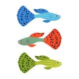 Beautiful guppy fish.  Stock Photography