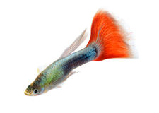 Beautiful Guppy Isolated on Black Background Royalty Free Stock Photos