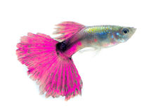 Beautiful Guppy Isolated on Black Background Stock Photo
