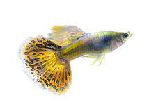 Beautiful Guppy on white Background Royalty Free Stock Images