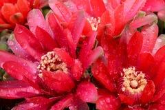 Beautiful gymnocalycium cactus flowers Stock Photography