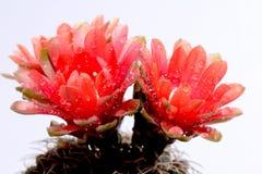 Beautiful gymnocalycium cactus Stock Image