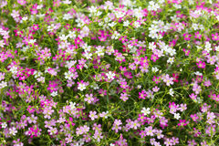Beautiful gypsophila flowers  blooming in the garden, selective Stock Image