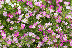 Beautiful gypsophila flowers  blooming in the garden, selective Royalty Free Stock Photography