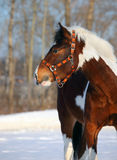 Beautiful gypsy vanner horse in winter Stock Image