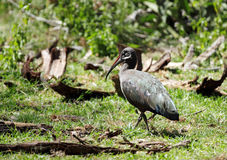 A beautiful Hadada Ibis Stock Image
