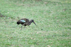 A beautiful Hadada Ibis near Lake Naivasha, Kenya Royalty Free Stock Images