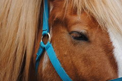 Beautiful Haflinger with Blue Halter Royalty Free Stock Photo